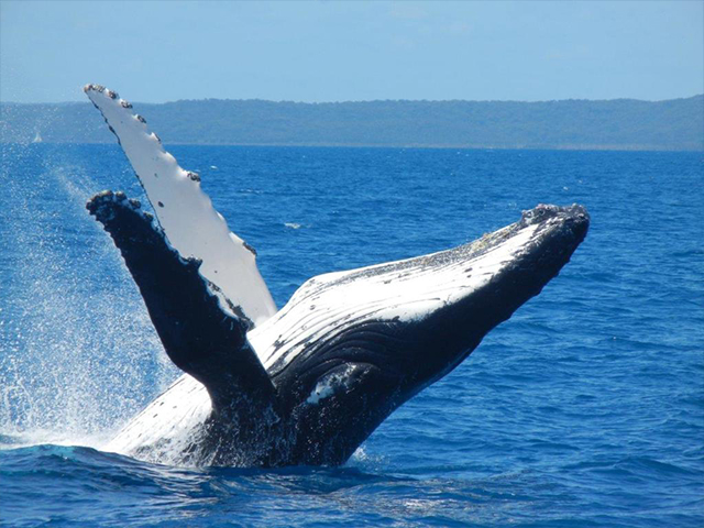 Cover Image of Ultimate Whalewatching Experience Hervey Bay